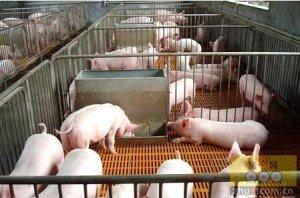 美国科学家在猪体内获得一株可以耐受抗生素粘菌素的大肠杆菌菌株