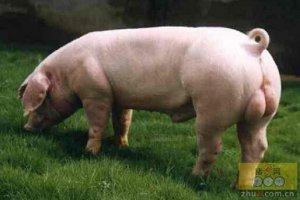 在生猪酮体中自动检测甲基吲哚将有效指示公猪膻味程度