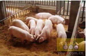 后备母猪首次配种需要注意的事项