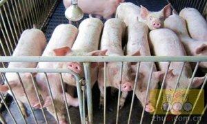 肥猪价涨幅缩小 补栏生猪须谨慎