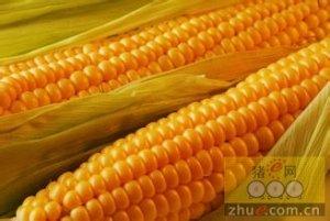 阶段性粮源趋紧无明显缓解  关注临储玉米拍卖启动时间