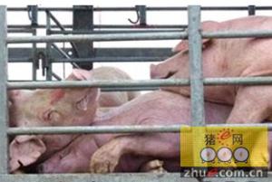 猪中暑症状与治疗
