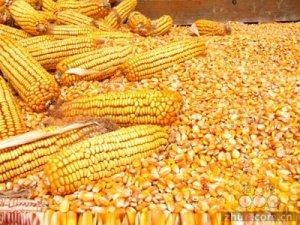 6月14-15日超期储存国产玉米定向竞价销售