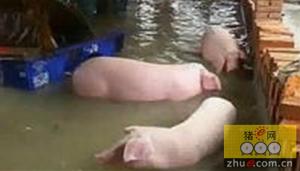 又到雷雨季!要想猪场不被淹 这些措施不能少