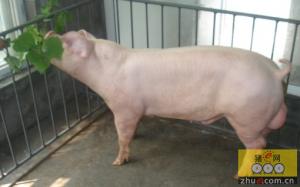 公猪包皮炎的诊断与防治措施,怎么预防公