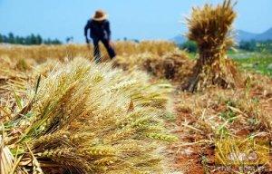 农业部:今年小麦有望再获丰收