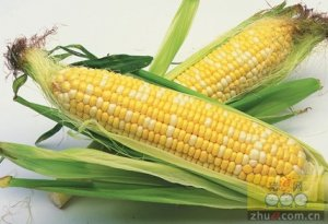 临储玉米拍卖艺术与效益并举 政府控盘市场奏响协奏曲
