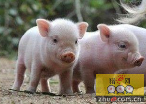 新购子猪如何防病,新进仔猪防病措施