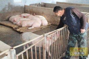 环保养猪吧,不然下一个关停的就是你