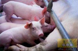 如何降低仔猪死亡率?