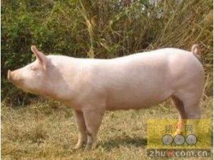 母猪配种的黄金时间表,赶紧收藏!