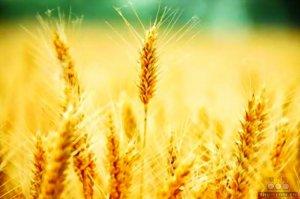 产粮大省冬麦量价齐跌 政府须有所作为