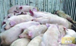 中医对猪高热病的认识