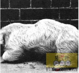 猪弓浆虫与猪肺疫混合感染的症状与防治