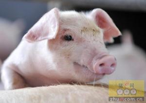 广西猪粮比才突破9:1   预计明年猪价可能会进入下跌通道