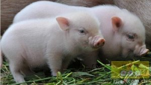 断奶仔猪应激综合征的发病原因及防治措施