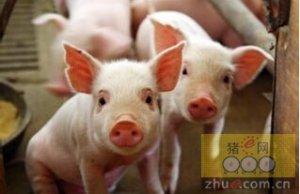 仔猪心肌炎防治方法,仔猪得了心肌炎怎么治疗?