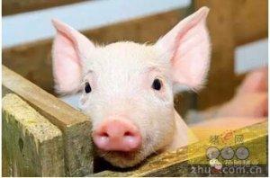 你的猪群是如何度夏的?