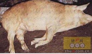 猪魏氏梭菌病的诊断和防治措施