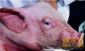 引起猪呼吸道病的病原菌有哪些?怎样防治?