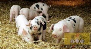 初生乳猪护理事项,乳猪热水浴可提高成活率