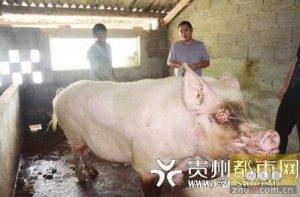 贵州惊现1500斤猪王,是为猪价还是为名声?