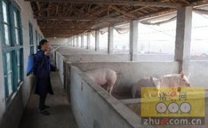 规模化养猪场必备防疫条件及操作流程