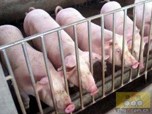 猪病的预防措施你做好了吗?这些错误可是经常犯的