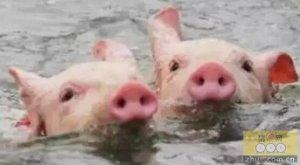 """如何减轻每年6-9月炎热气候给养猪生产造成的不良影响""""热应激""""?"""