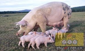 澳大利亚的一项母猪宽松饲养模式值得称赞