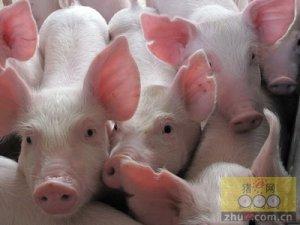 连云港灌云县生猪饲养量突破90万头