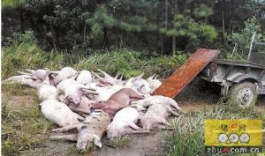 80头猪腹泻,7头死亡,疑因饲料问题