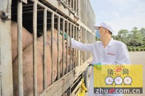 从耳标到尿检到电击 猪肉这样上深圳人餐