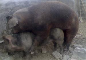 猪人工授精和本交到底哪个更靠谱?