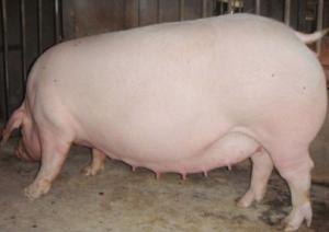 母猪配种时几个管理核心问题