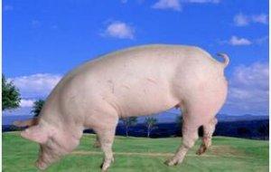 养殖户如何选择后备母猪及后备母猪选择的时间