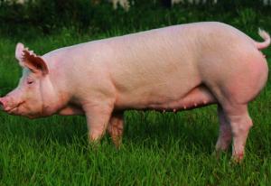 高温季节来临,如何来拯救母猪?