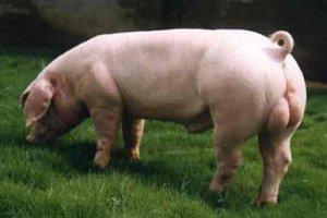 中国畜牧业协会5月份种猪生产监测情况