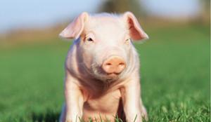 养猪需防猪矿物质营养