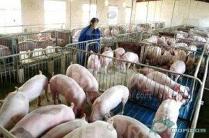 云南:沾益启动25万头种猪场项目