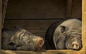 夏季母猪饲喂的10个秘诀