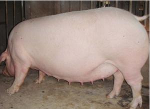 夏季应该怎样加强母猪管理