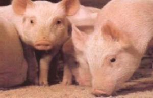 猪蓝眼病探讨