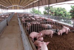 夏季养猪场的防蚊这几招别错过