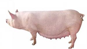 母猪产后恶露不净,不容小觑