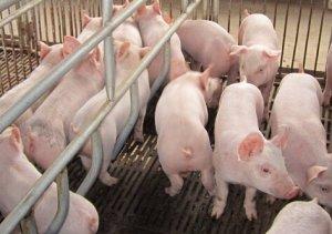 猪场引种抓好五大关键事项