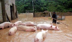 一个大型种猪场遭遇洪灾的警示