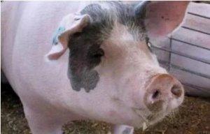 母猪一次定时授精的5个好处
