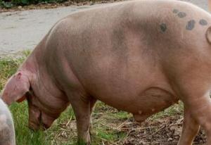 预防母猪滑胎的有效方法