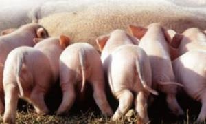 新生仔猪的护理细节,做好每一步,仔猪更健壮!